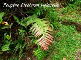 fougre blechnum, soufrire, guadeloupe