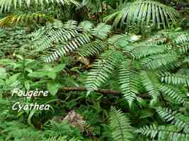 fougère Cyathea, trace contrebandiers, basse terre nord, guadeloupe
