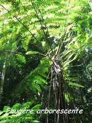fougère arborescente, bras de fort, goyave, guadeloupe