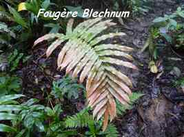 Blechnum occidentalis, Foug�re, Piton de Bouillante