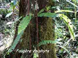 fougère Nephrolepis, trace contrebandiers, basse terre nord, guadeloupe