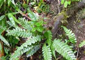 Adiantum latifolium, Fougère, Piton de Bouillante