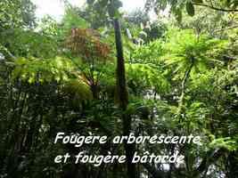 Cyathea arborea et Phyllantus mimosodes, Fougères, Piton de Bouillante