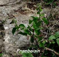 framboisin, herbacée, TGT5, grande terre, guadeloupe