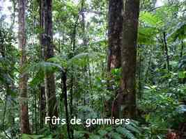 gommiers futs, arbre, chutes carbet, basse terre , guadeloupe