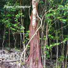 arbre foret seche, ecosysteme tropical, guadeloupe, antilles