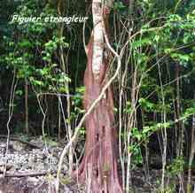 arbre foret seche, ecosysteme tropical, guadeloupe, antilles