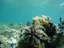 fond marin, echinoderme, récif corallien, guadeloupe, antilles