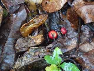 Frézias fruit arbre foret humide ecosysteme tropical antilles