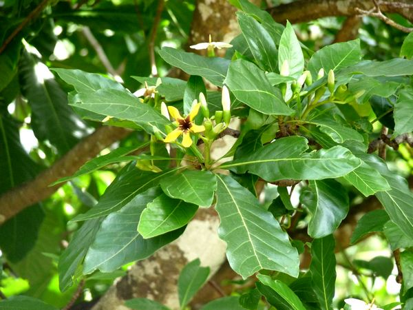 génipa, genipa mexicana, arbre, foret moyenne, guadeloupe