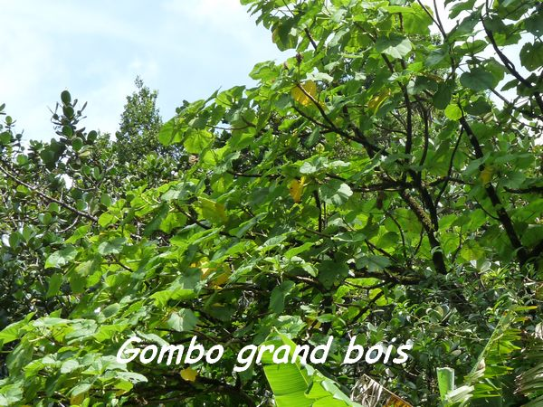 gombo grand bois, papaye L