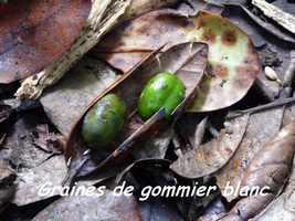 Dacryodes excelsa, arbre, Papaye