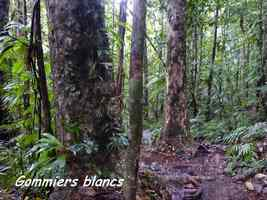 gommiers blancs, arbres, chutes moreau, goyave, basse terre nord, guadeloupe