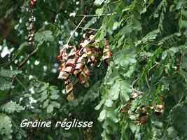 graines réglisse, arbre, bras de fort, goyave, guadeloupe
