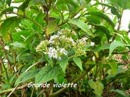 grande violette, flore, soufrire, guadeloupe