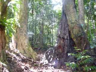 gommier bois rouge frézias arbre foret humide ecosysteme tropical