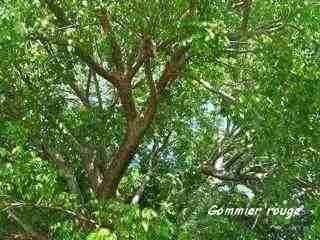 arbre foret seche, écosysteme tropical, guadeloupe