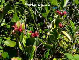 herbe à cors, flore, TGT3, grande terre, guadeloupe