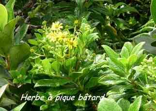 herbe a pique batard, arbuste, nez cassé, st claude, basse terre, gaudeloupe