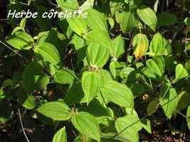 herbe cotelette, herbacée, bras de fort, goyave, guadeloupe