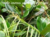 herbe couteau, madeleine, basse terre sud, guadeloupe