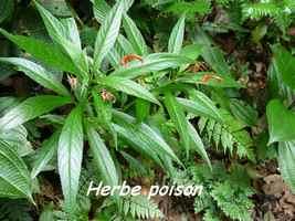 Lobelia persicifolia, Herbacée, Papaye