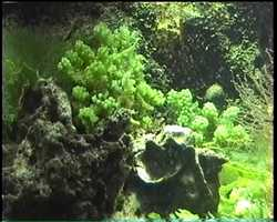 algue verte, benthos, fond marin tropical, guadeloupe, antilles