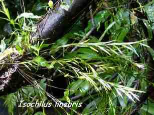 orchidée, nez cassé, st claude, basse terre, guadeloupe
