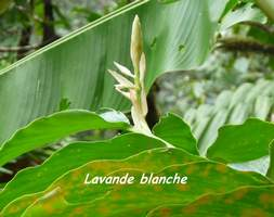 lavande blanche, nerbacée, balade, chutes carbet, basse terre