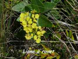 Stigmaphyllon diversifolium, liane, Désirade
