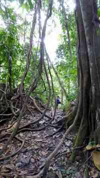 lianes, trace des ruisseaux, route mamelles, guadeloupe