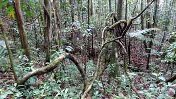lianes, rivière quiock, route mamelles, guadeloupe