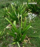 lis, herbacée, pointe allègre, basse terre, guadeloupe