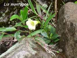 lis montagne, flore, soufrire, guadeloupe