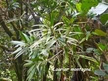 Podocarpus coriaceus, armistice, basse terre, guadeloupe