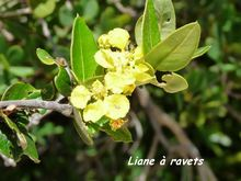 liane foret seche, ecosysteme tropical, guadeloupe, antilles