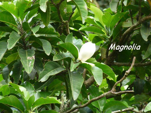 magnolia soufrière L