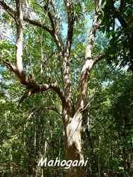 Swietenia macrophylla, Maisoncelle