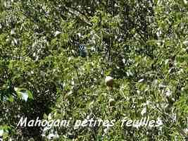 Swietenia mahagoni, Maisoncelle