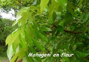 Swietenia macrophylla, poyen