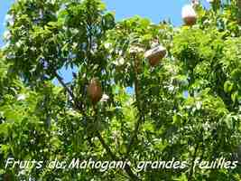 Swietenia macrophylla, fruits, Maisoncelle