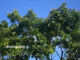 mahoganis, arbre, trace 36 mois, ste rose, basse terre, guadeloupe
