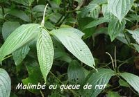 malimbé, arbuste, madeleine, basse terre sud, guadeloupe