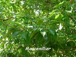 Hippomane mancinella, arbre, Grande Pointe