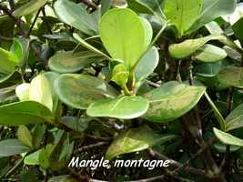 mangle montagne, arbre, soufrire, guadeloupe