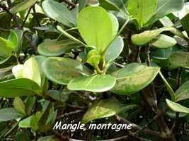 mangle montagne, arbre, soufrière, guadeloupe