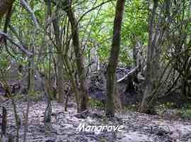 mangrove TGT2, grande terre, guadeloupe