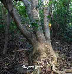 mapou gris,arbre, TGT5, grande terre, guadeloupe
