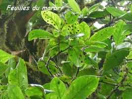 marbri, arbre, chutes carbet, basse terre sud, guadeloupe