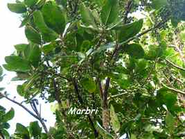 marbri, arbre, soufrire, guadeloupe